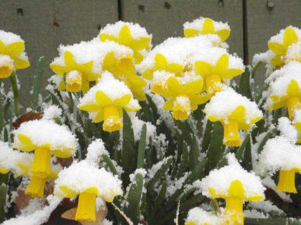 Local News Spring Flowers In Snow 3 3 09 Poinsett Co Democrat
